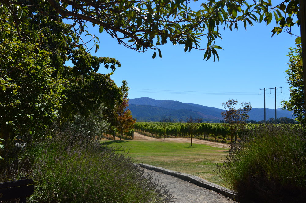 Marlborough wine region vineyard