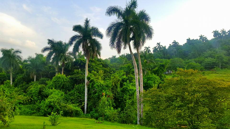 palm trees and greenery of las terrazas in Cuba