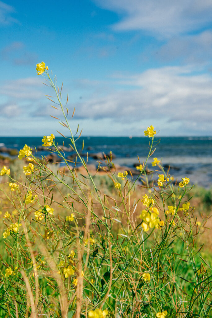 yellow wild flowers in front of the sea