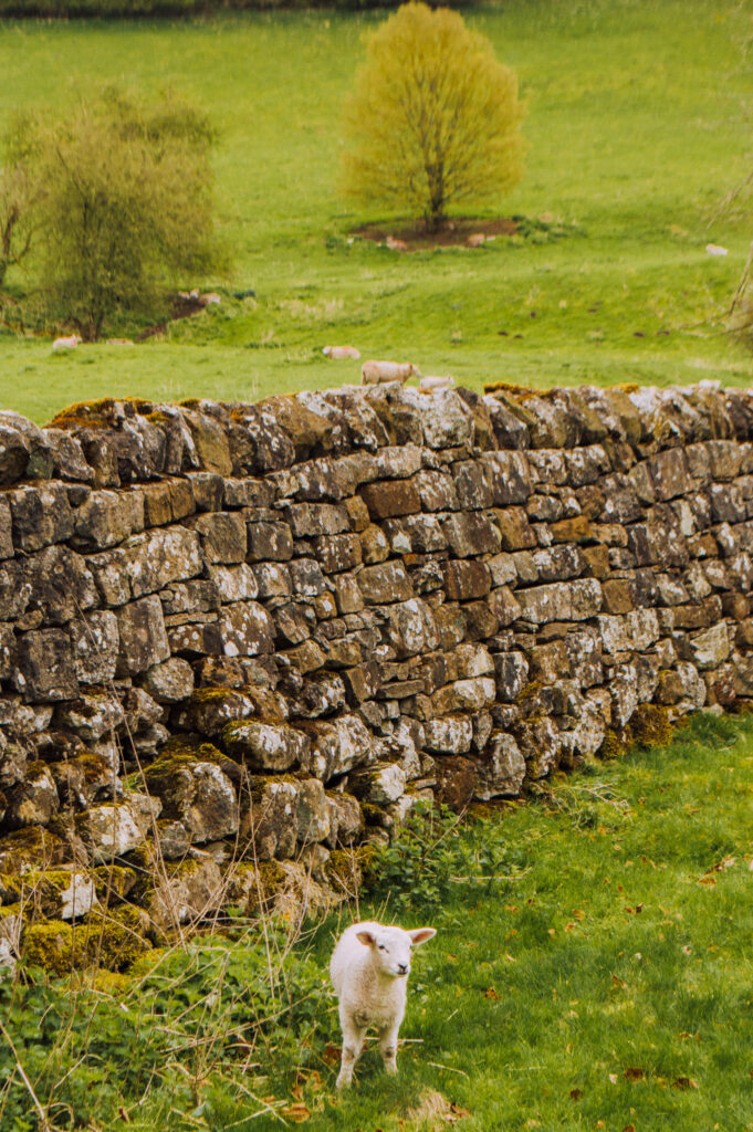 lamb in field with stone wall in yorkshire