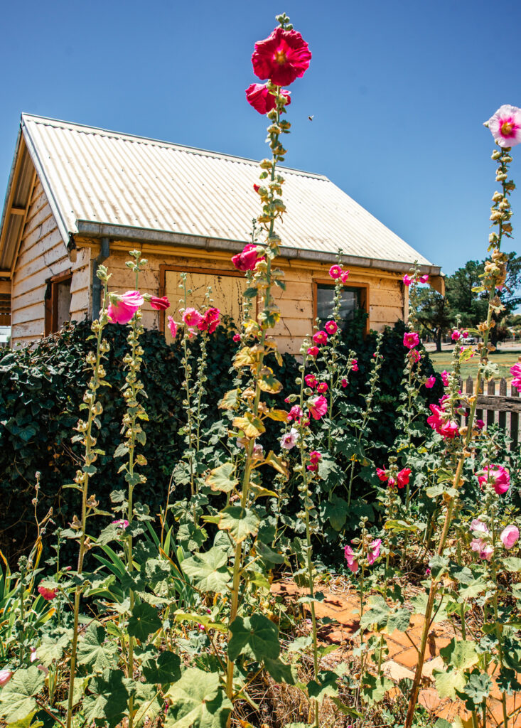 hollyhock cottage garden in Australia