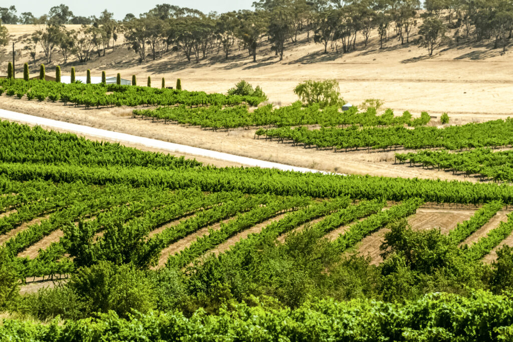 fields of vines in the Clare Valley